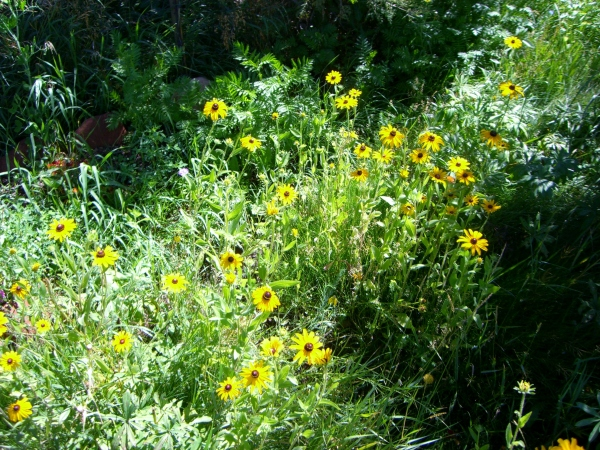 The birds just love the seeds from these native sunflowers.