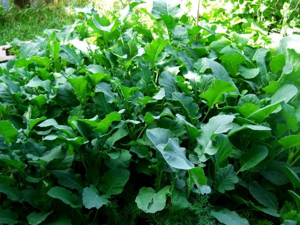 Beautiful Leafy Greens / Kitchen Garden @ martincooney.com