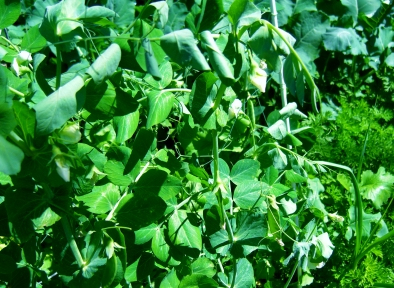 Verdant Green Peas / Kitchen Garden @ martincooney.com