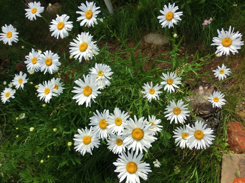 Daisies at the studio of MARTIN COONEY