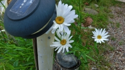 Daisies at the studio of MARTIN COONEY,