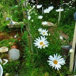 Daisies at the studio of MARTIN COONEY, 8 Miles North of Aspen, CO