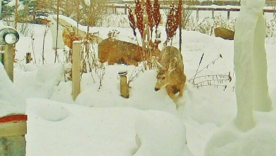 Deer Family Passing Through the Sculpture Garden, Sunday December 28, 2014, 3:04 to 3:17 PM