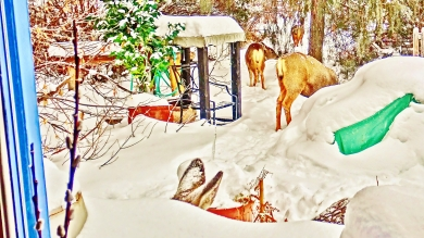 Deer Family Passing Through the Sculpture Garden, Sunday December 28, 3:04 to 3:17 PM
