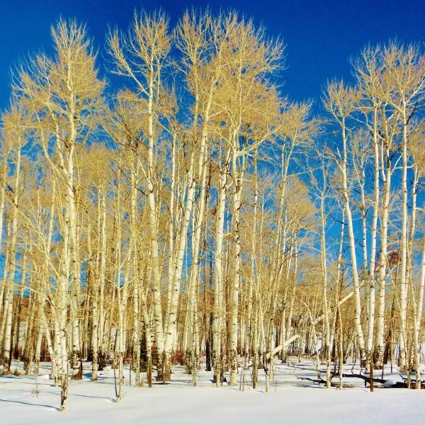 Aspen Trees, Owl Creek Trail, Aspen/Snowmass Village Expressway. MARTIN COONEY