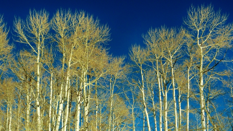 Aspen Trees, Owl Creek Road Trail, Aspen/Snowmass Village Expressway. MARTIN COONEY