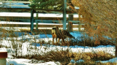 Deer Family, mid-February, 2015, Woody Creek, CO