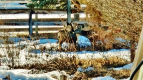 Deer Family, mid-February, 2015, Woody Creek, CO