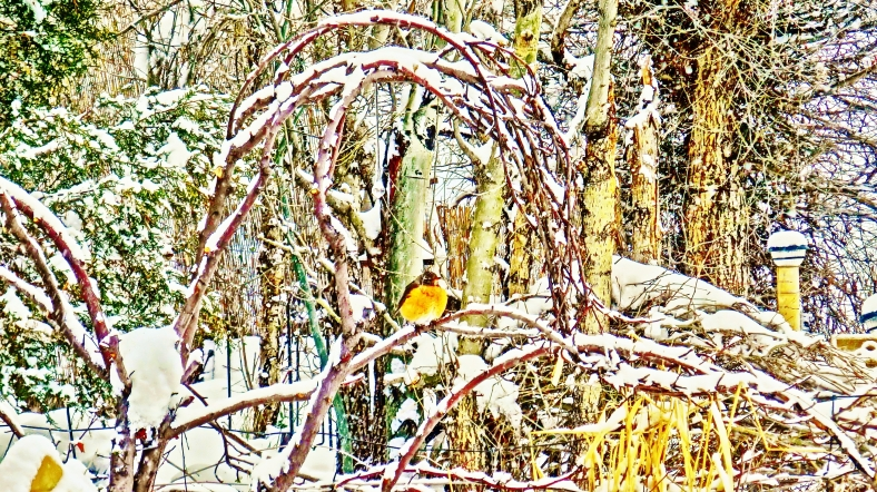 'American Robins' wait out the weather. Birds, snow,