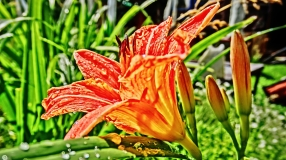 Day Lilly Flowers
