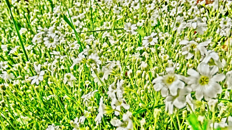 Snow in Summer Flowers