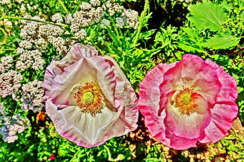 Wide-Eyed Poppies