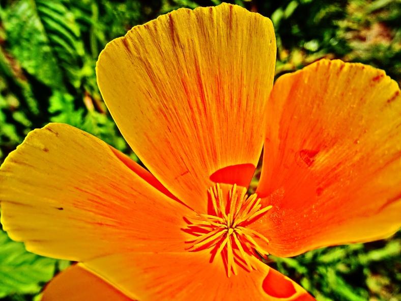 Orange Poppy Star