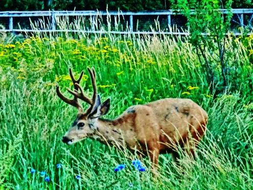 Woody Creek Deer Family
