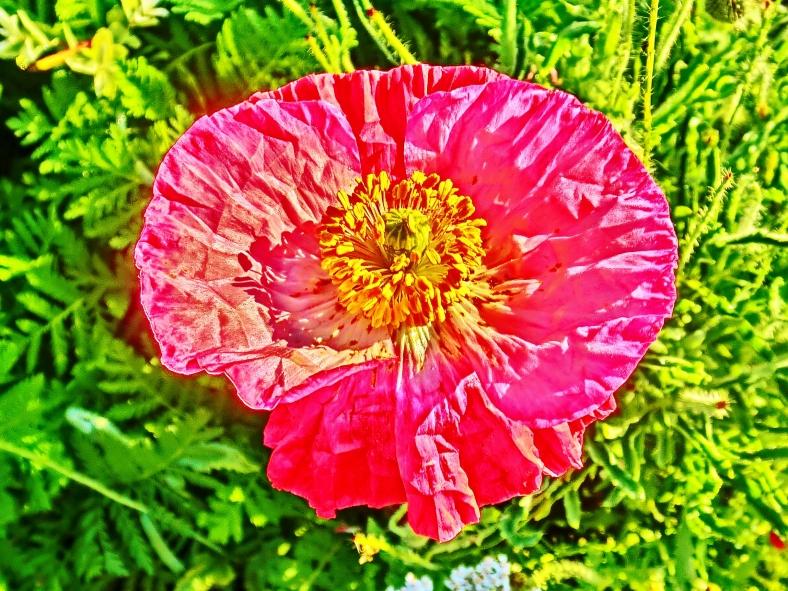 Green Island Poppy