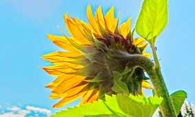 Sunny Sunflower, Woody Creek, Colorado