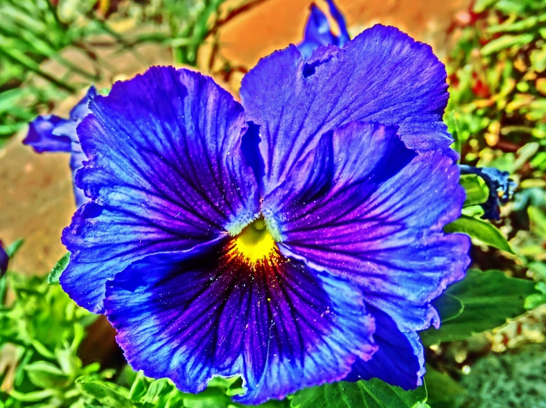 Hypnotic Blue Pansy