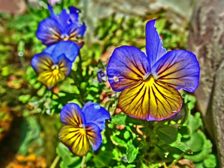 Ragged Band of Violas