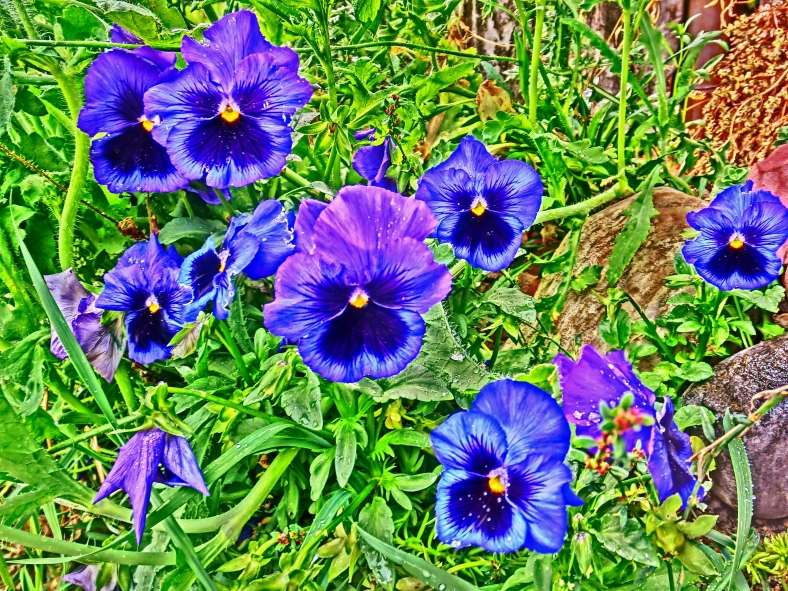 Pansy Clan