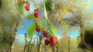 October Raspberries, Woody Creek CO