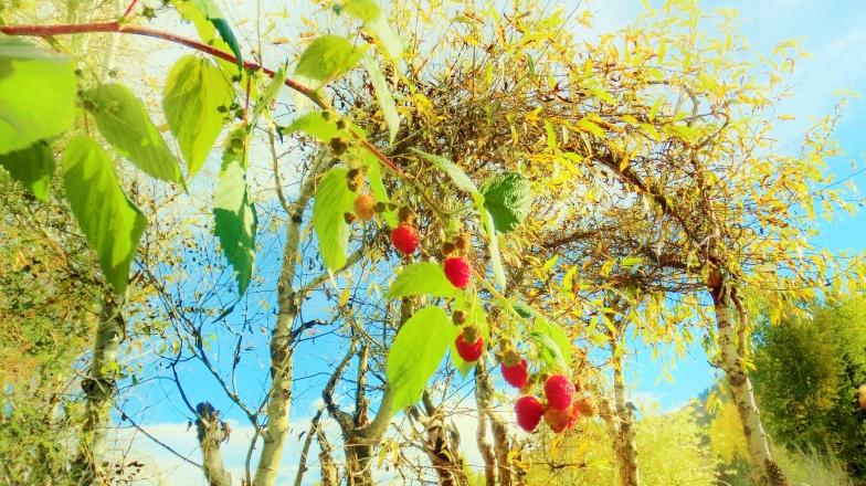 October Raspberries, Woody Creek CO