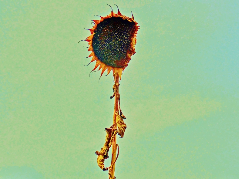 The 'Journey to the Center of the Sunflower' sunflower.