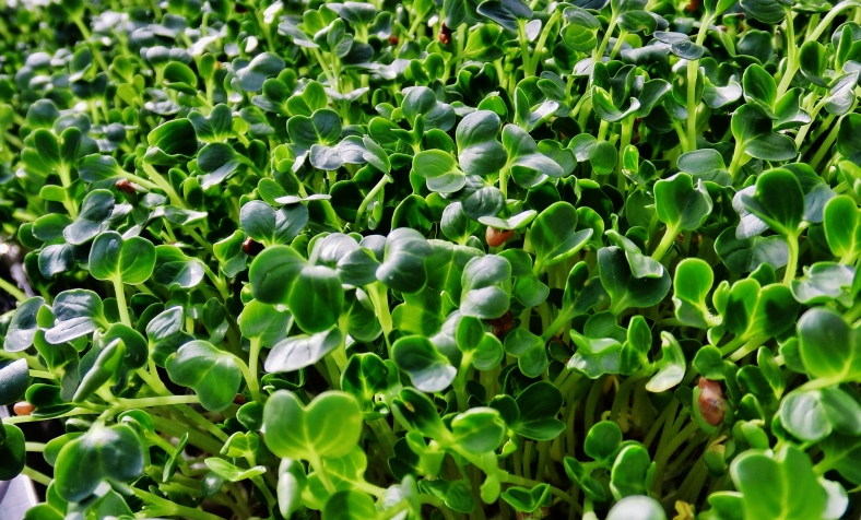 "Emerald Green's ""Radical Rad"", Daikon Organic Microgreen with ALTITUDE"