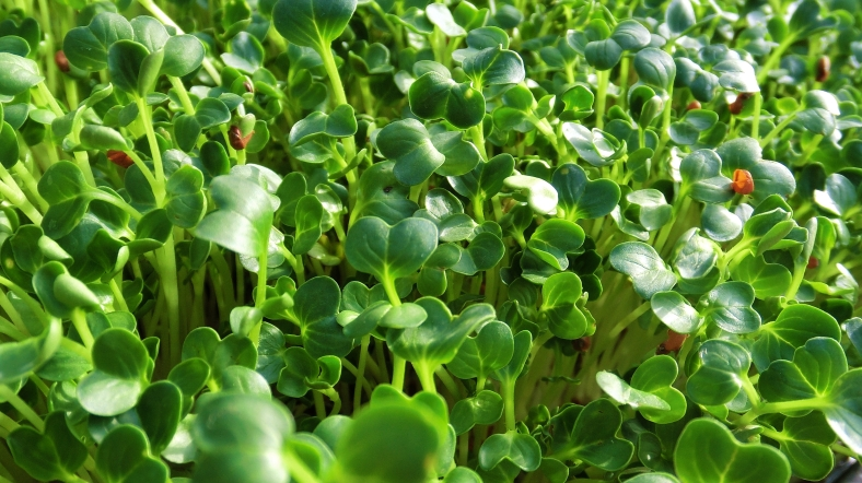 "Emerald Green's ""Radical Rad"", Daikon Organic Microgreen with ALTITUDE"
