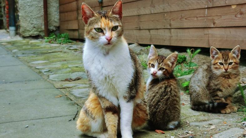 Wild Cat Family, Montereggio, Lunigiana, on the North West Tuscan Way, Italy