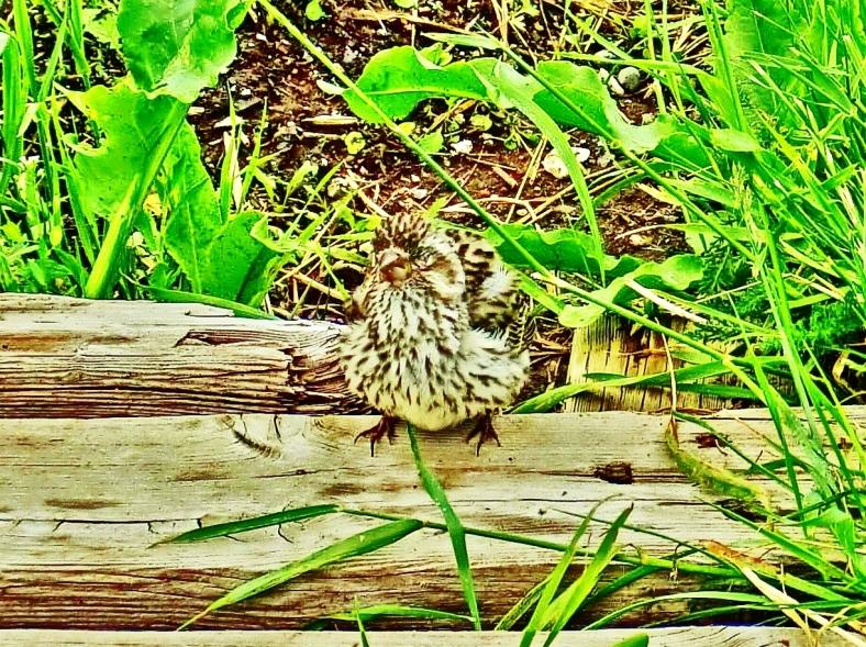 Sleepy Sparrow.