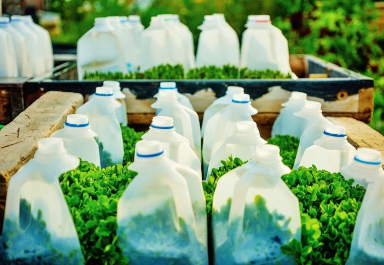 PHOTO BY DRAPER WHITE Pea shoots thrive in milk jug planters in the Cooneys' summer garden